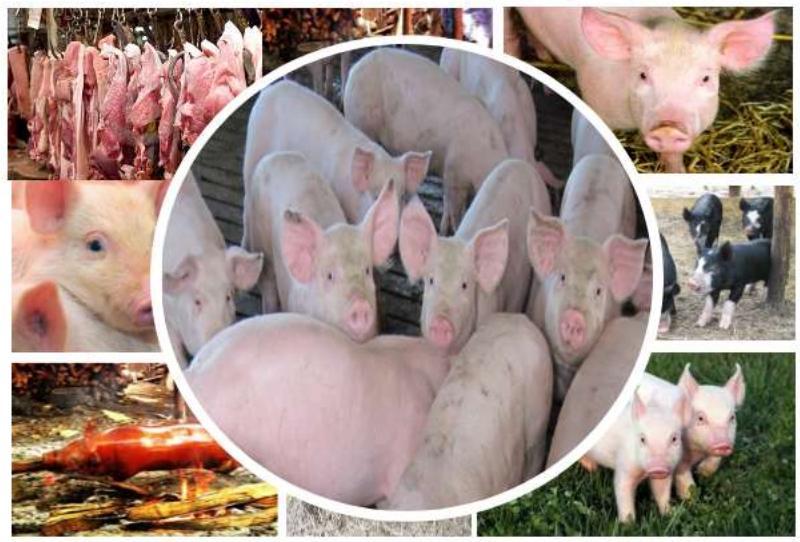 pigs pork swine PSA African fever
