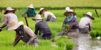 cropped rice farmers 5
