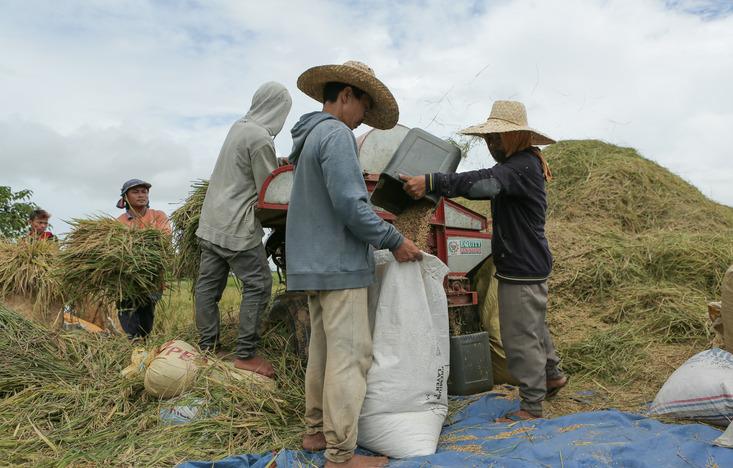 Palay rice farm farmers harvest