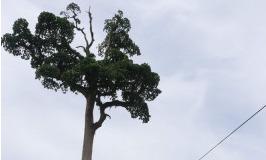 centennial tree agusan