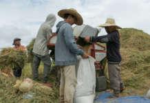 cropped Palay rice farm farmers harvest