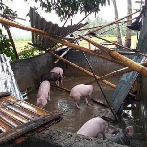 pigs hogs ASF South Cotabato