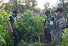 marijuana south cotabato