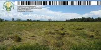 tulunan rice crops